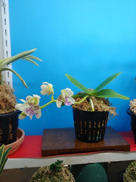 Sedirea japonica 名護蘭