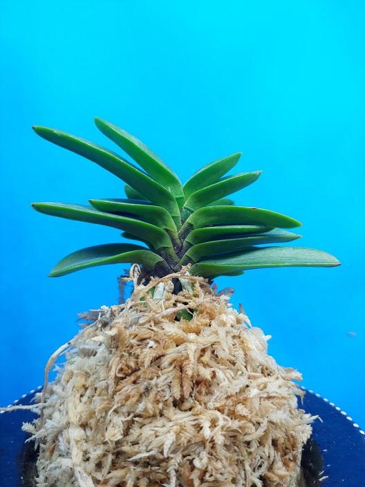 Mameba 豆葉