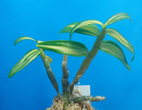 Dendrobium moniliforme tenyokan 天女冠